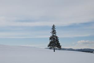 雪原に立つマツの木 美瑛町の写真素材 [FYI00942079]