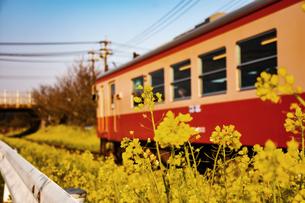 電車と菜の花の写真素材 [FYI00942085]