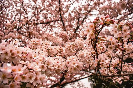 桜の花の写真素材 [FYI00942090]