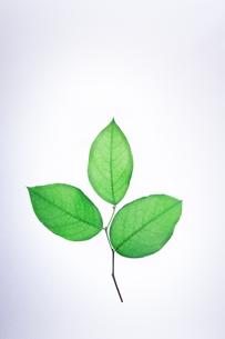 緑の葉っぱの写真素材 [FYI00942133]