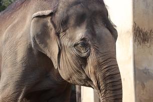 象の写真素材 [FYI00942166]