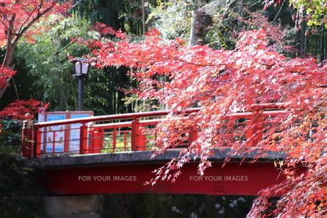 紅葉と赤橋の写真素材 [FYI00942168]