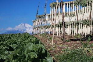 三島大根干しと富士山の写真素材 [FYI00942170]