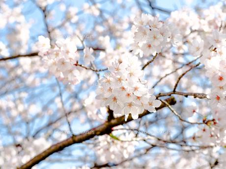 満開の桜 青空の写真素材 [FYI00942217]