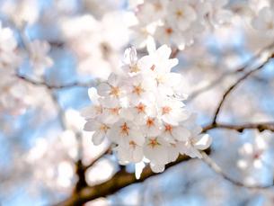 満開の桜 青空の写真素材 [FYI00942218]