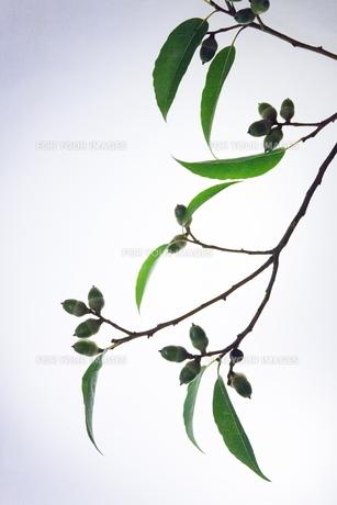 どんぐりの枝の写真素材 [FYI00942318]