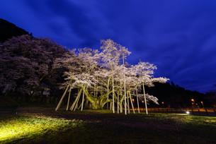 ライトアップされた薄墨桜の写真素材 [FYI00942344]