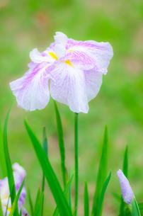 花しょうぶの写真素材 [FYI00942425]