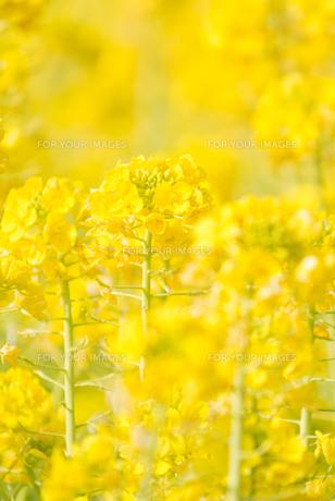 菜の花の写真素材 [FYI00942429]