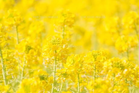 菜の花の写真素材 [FYI00942430]