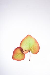 ハートの葉っぱの写真素材 [FYI00942450]