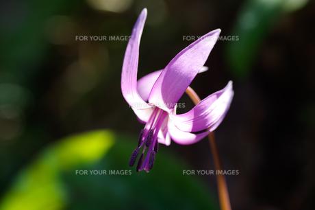 カタクリの花の写真素材 [FYI00942458]