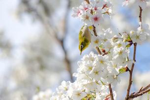 メジロと桜1の写真素材 [FYI00942459]