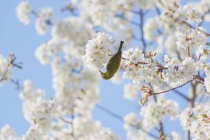 メジロと桜2の写真素材 [FYI00942460]