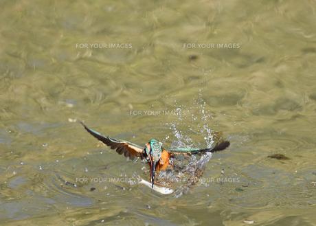 カワセミの捕食の写真素材 [FYI00942743]