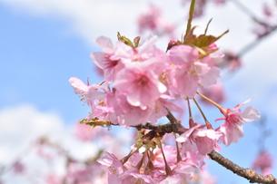 河津桜の写真素材 [FYI00942780]