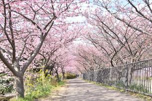 河津桜の写真素材 [FYI00942781]