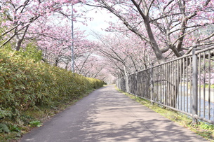 河津桜の写真素材 [FYI00942782]