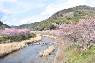 河津桜の写真素材 [FYI00942783]