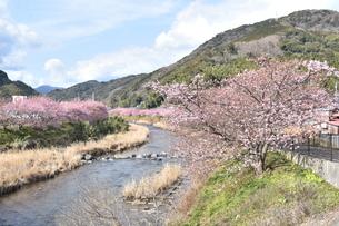 河津桜の写真素材 [FYI00942785]
