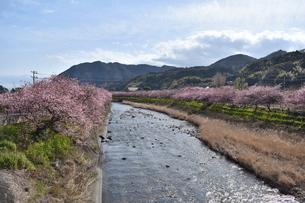 河津桜の写真素材 [FYI00942786]