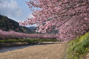 河津桜の写真素材 [FYI00942788]