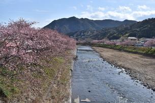 河津桜の写真素材 [FYI00942789]