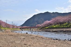 河津桜の写真素材 [FYI00942791]