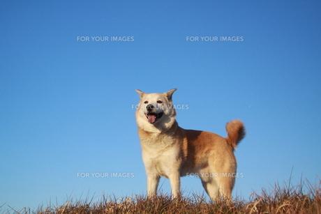 青空と笑顔の犬の写真素材 [FYI00942792]