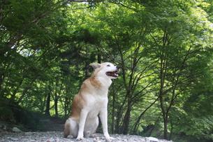 新緑と笑顔の犬の写真素材 [FYI00942796]