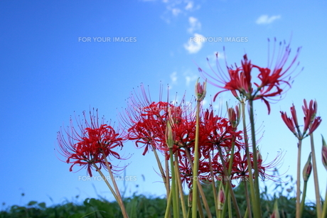 青空と彼岸花の写真素材 [FYI00942802]