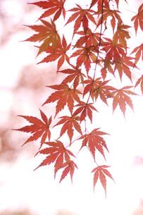 光に透き通るもみじの葉の写真素材 [FYI00942805]
