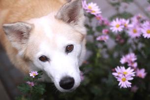 見つめる犬とピンクの花の写真素材 [FYI00942809]