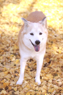 イチョウの葉の上で笑顔で佇む犬の写真素材 [FYI00942812]