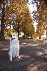 笑顔で座る犬と並木道の写真素材 [FYI00942813]