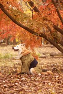 着物を着ている犬と紅葉の写真素材 [FYI00942816]