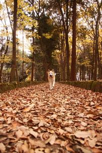 落ち葉の上を走る犬の写真素材 [FYI00942818]