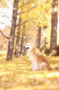 笑顔の犬と紅葉した銀杏並木の写真素材 [FYI00942822]