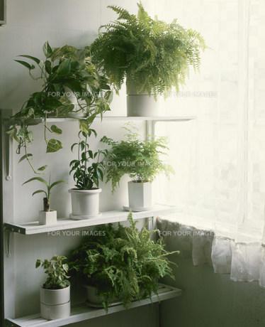 並んだ緑の葉の鉢植えの素材 [FYI00943365]