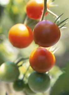 畑のトマトの素材 [FYI00945121]