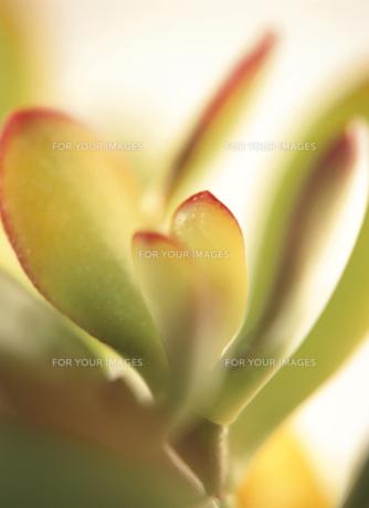 観葉植物(セダム)の葉のアップの素材 [FYI00945138]