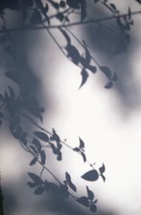 白壁に映った葉の素材 [FYI00945208]
