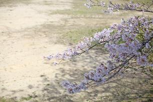 グラウンドが背景のさくらの花の素材 [FYI00947964]
