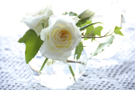 白いバラの素材 [FYI00949404]