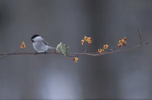 実のなった枝に止まる野鳥 コガラの素材 [FYI00950629]
