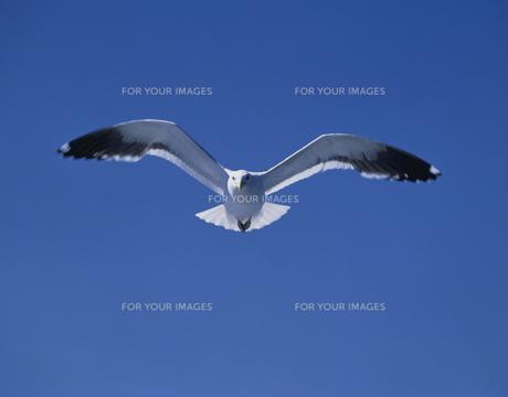 青空を飛ぶカモメの素材 [FYI00950649]