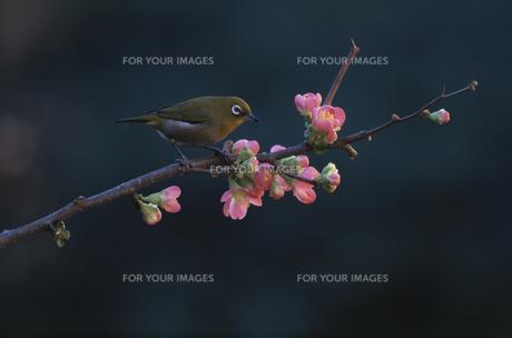 ボケの花の枝に止まる野鳥 メジロの素材 [FYI00950744]