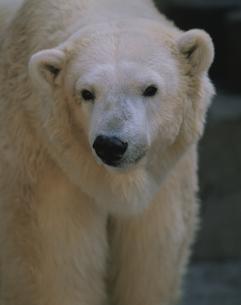 白熊の素材 [FYI00950794]