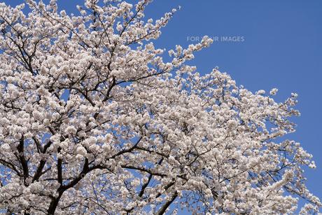桜と青空の素材 [FYI00950799]