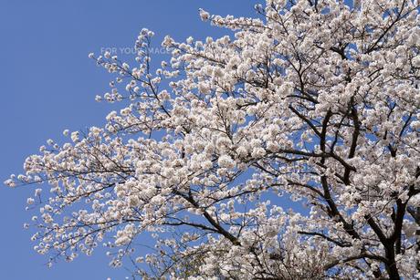 桜と青空の素材 [FYI00950834]